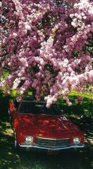 70 Monte under flowering crab apple tree