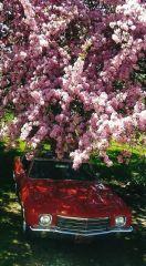 70 Monte under flowering crab apple tree